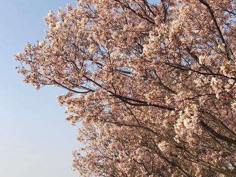 桜 狭山池