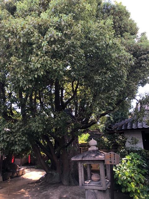 極楽寺 楠木正成手植えの楠