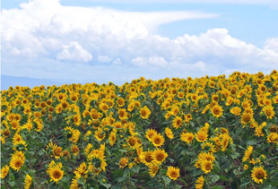 summer_img_sunflower