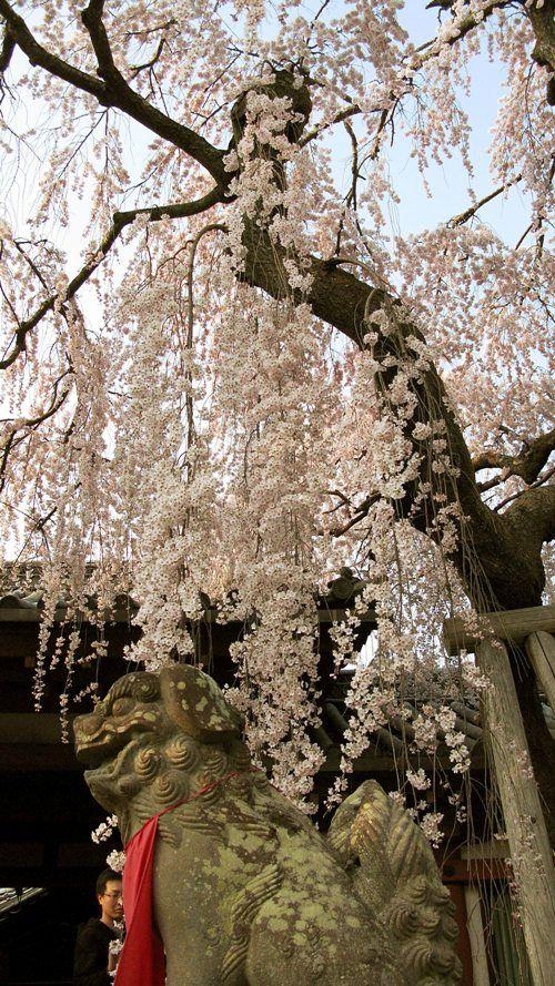 関西お花見2017~桜の名所・見ごろ・穴場・ライトアップ情報~
