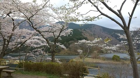 田貫湖桜⑧