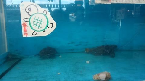 海亀、保育中