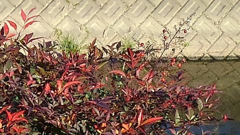 赤い木の実⑥