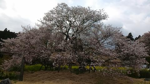 駒止めの桜①