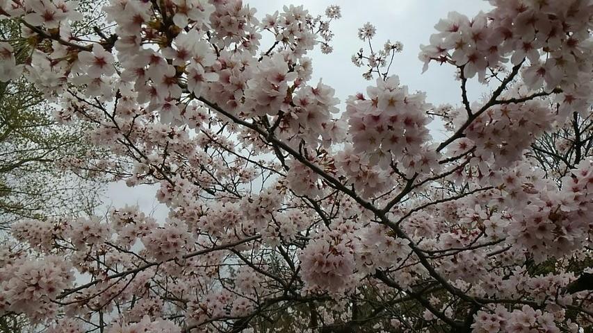 桜まつり⑨