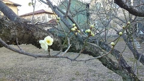 春を告げる梅②