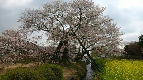 駒留の桜④