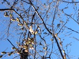 鶴舞公園さくら 2014/03/22