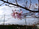 四季桜・清洲古城公園