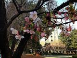 名古屋市制資料館オオカンザクラ2013/03/15