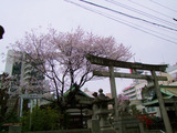 三輪神社薄墨桜20130318