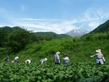 ブログ用:収穫風景2
