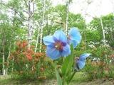 ブログ用:青いケシの花3