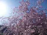 牧尾公園しだれ桜
