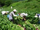 ブログ用:収穫風景