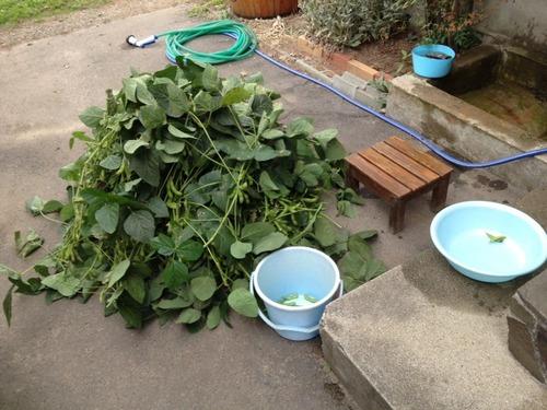 【画像あり】枝豆採れすぎたw