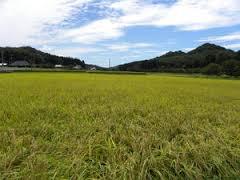 三十路ニートだけどもうすぐ稲刈り作業が始まるぞぃ・・・・・(´;ω;`)
