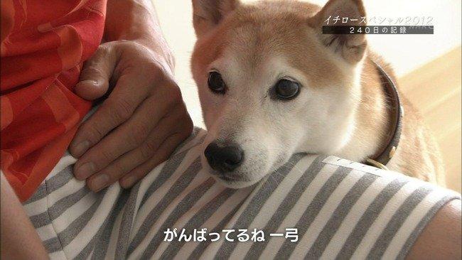 【泣ける】イチローの愛犬(18)「主人の引退まで生きて見届けるンゴ」