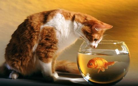 猫、面白い、金魚、魚のボウル