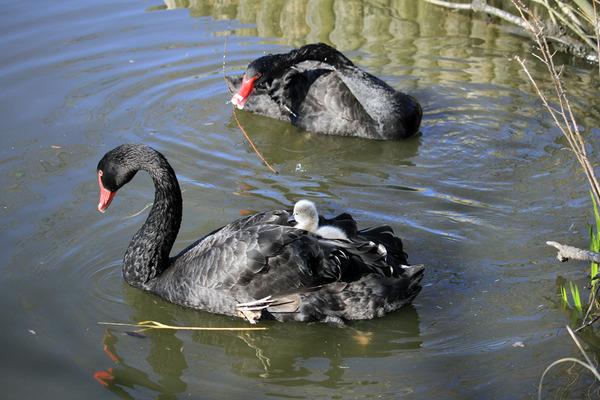 黒鳥おんぶ5