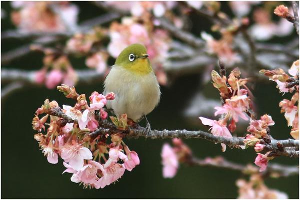 公園桜メジロ2
