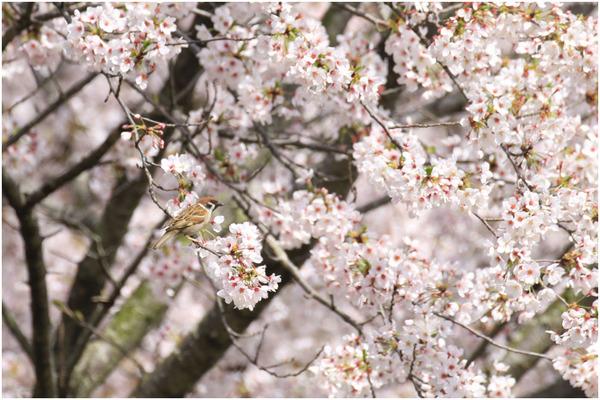 桜スズメ4