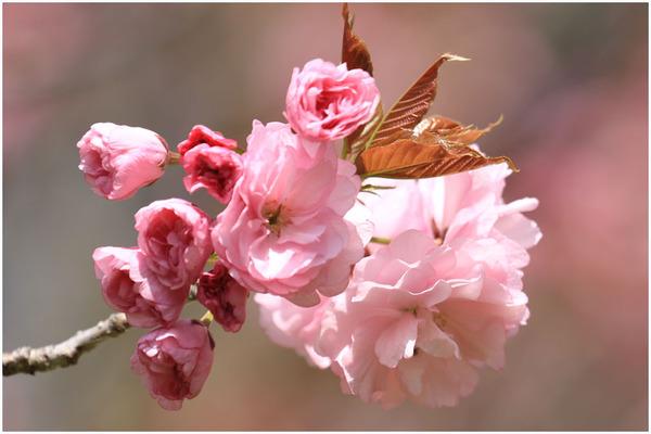新緑と桜5