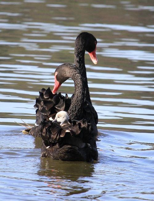 黒鳥おんぶ9
