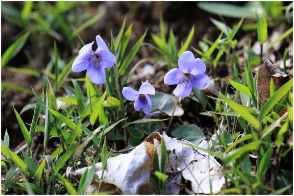 春スミレ1