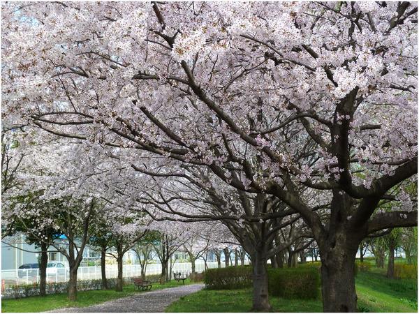 桜スズメ3