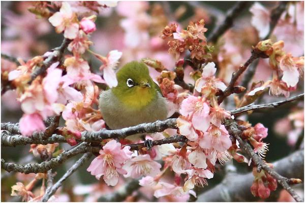 公園桜メジロ1
