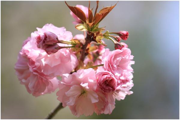 新緑と桜7