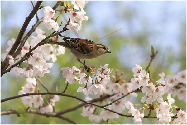 桜スズメ7