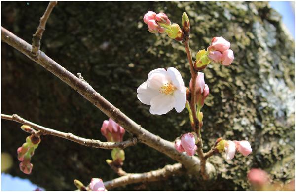 公園桜開花
