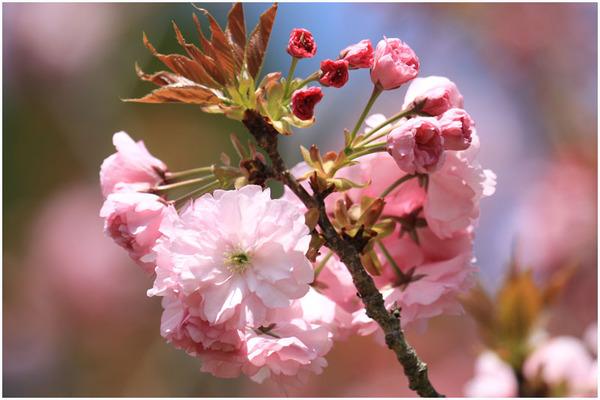 新緑と桜6