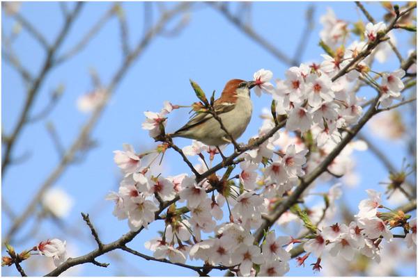 桜スズメ12