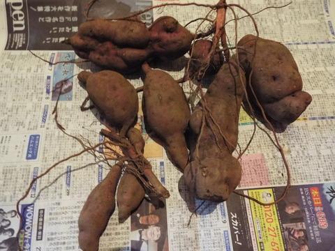 Yちゃん芋掘りの成果の一部