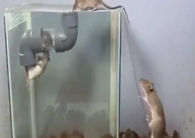 一度入ってしまったら終わりな絶望。上手にネズミを捕獲する罠。海外の反応