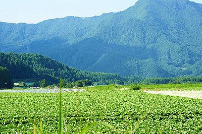 長野県南佐久郡川上村のレタス畑