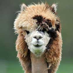 イケメン過ぎる髪型のアルパカ