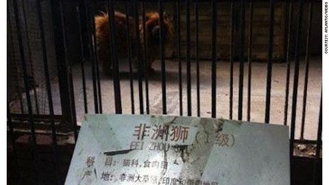 ライオンの檻にいた大型犬であるチベタンマスチフ