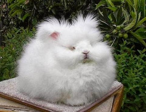 世界で一番毛深いウサギ