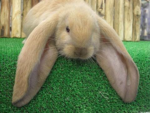 超耳の長いイングリッシュロップっていうウサギ