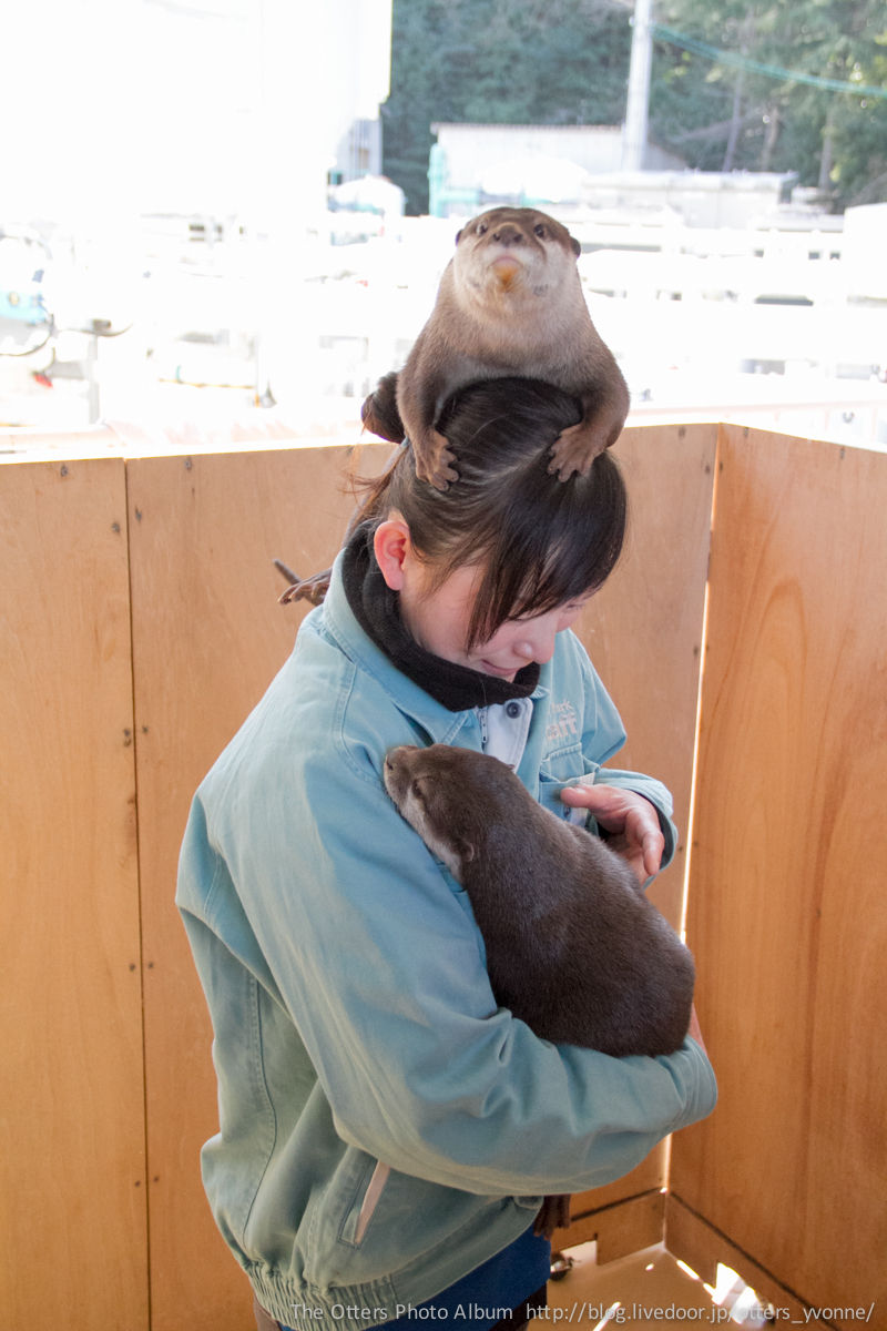 Angry otter on top of a ladies head.