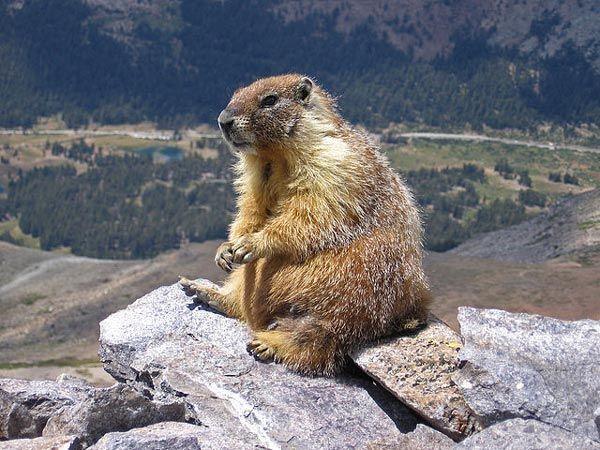 marmot02