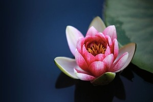 water-lilies-1825477_640
