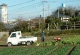 カブの収穫