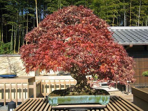 樹齢約100年