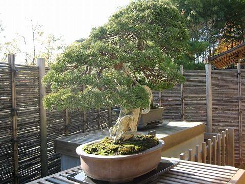 樹齢約230年