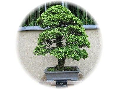 栂 樹齢80年